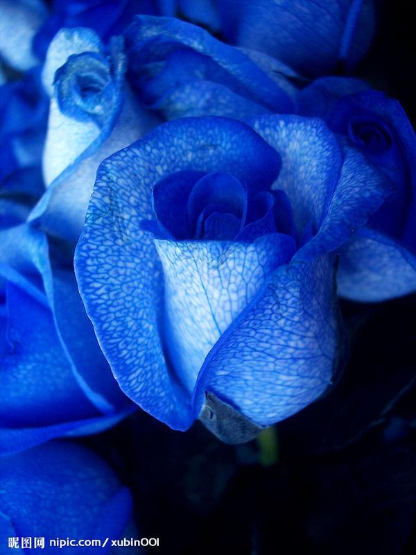 蓝色妖姬 选择/蓝色妖姬 (支) ¥15